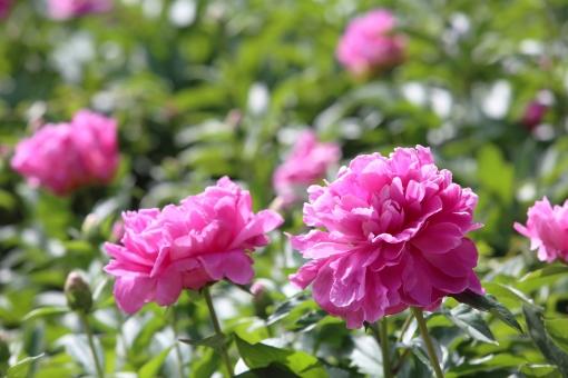 ピンク 花 芍薬 シャクヤク 植物 花びら 桃色 屋外 かわいい 自然