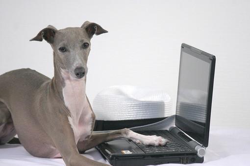 犬 大型犬 動物 生き物 茶色 グレー 白 垂れる 見つめる ドッグ 一匹 伏せる 帽子 麦藁帽子 ストローハット イタリアングレイハウンド 哺乳類 短毛 ノートパソコン パソコン PC キーボード 叩く 正面 WEBサイト