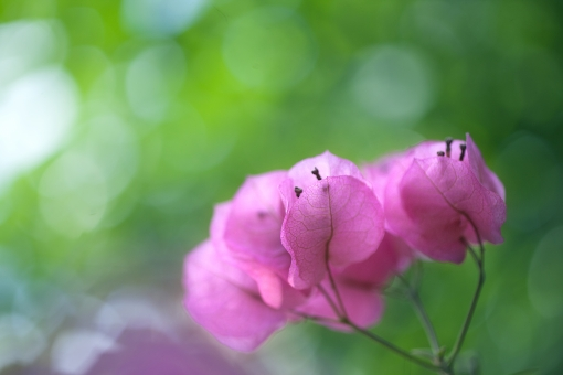 自然 植物 花 ブーゲンビリア 新緑 若葉 新芽 ピンクの花 初夏 夏 光を浴びて 光透過光 季節感 暑中見舞い ポストカード 待ち受け画像 コピースペース バックスペース 爽やかイメージ 背景 テクスチャー 四月・五月 六月・七月 みずみずしい 森・林 公園 野外アウトドア