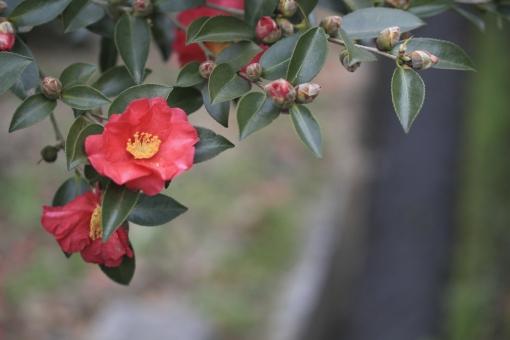 つばき 山茶花 さざんか 椿 冬 秋