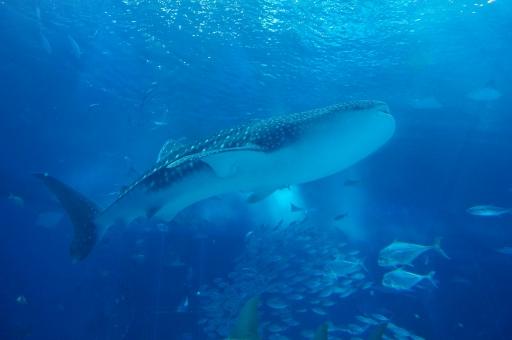 ジンベエザメ サメ 鮫 水族館 美ら海 水槽 水 青 海