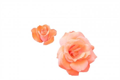 薔薇 22 オレンジシルク(PSD 背景透過 切抜)の写真