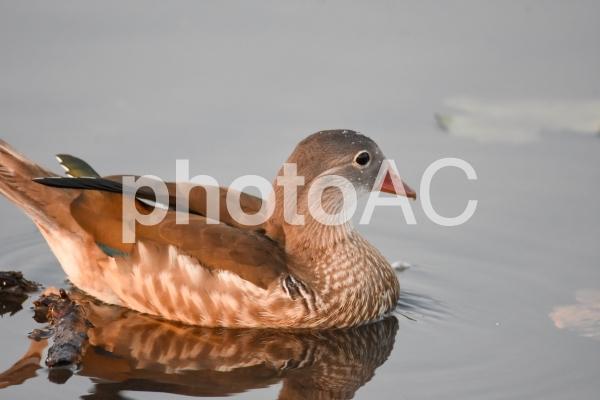 夏羽のオシドリが泳ぐ様子   バンク-バ- ブリティッシュコロンビア カナダの写真
