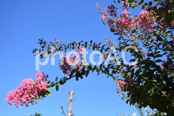 奈良公園(ピンク花)の写真