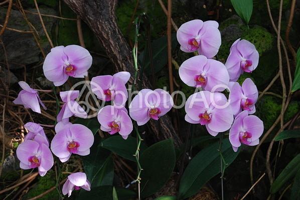 薄紫色の胡蝶蘭の写真