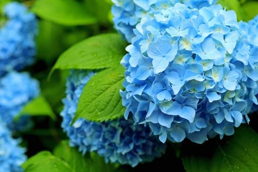 アジサイ 青い花の写真