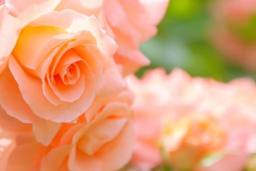 自然 花びら 幸運 幸せ 自然 庭 ガーデン ガーデニング 元気 テクスチャー 愛 恋 恋愛 サーモンピンク 素材 オレンジ ビタミンカラー 結婚式 卒業 記念日 ホワイトデー 入学 幸福 カーネーション 結婚記念日 結婚 明るい マクロ アップ 薔薇 ばら 背景 壁紙 母の日 父の日 緑 植物 初夏 5月 6月 五月 六月 誕生日 プレゼント メッセージ カード 花束 背景素材 花 バラ 行事 春 感謝 お祝い 美しい 綺麗 きれい かわいい 華やか はなやか アロマ カラー 美容 健康 イメージ エステ 5月 6月 贈る 贈り物 ギフト 癒し いやし リラクゼーション リラックス