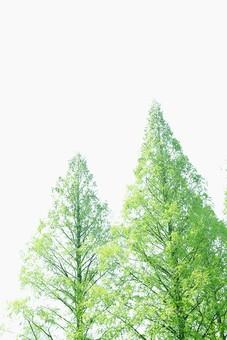 葉 緑  新緑  日本  自然 植物 屋外 壁紙 背景 背景素材 バックグラウンド 光 青空 環境 エコ   さわやか 爽やか 初夏 森 森林 木 スペース 快晴 木々 空