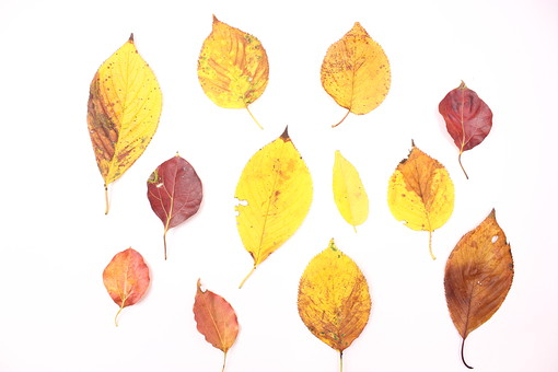 木の葉 枯葉 枯れ葉 落ち葉 落葉 植物 葉 葉っぱ 植物 秋 ナチュラル 白バック 白背景 自然 葉脈 紅葉