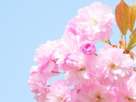 桜 櫻 サクラ さくら 八重桜 ヤエザクラ 春 ピンク 緑 花 植物 樹木 バラ科 背景 入学式 卒業式 卒園式 入園式 門出 きれい 青空 華やか 空