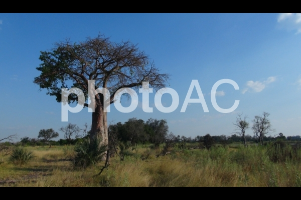 アフリカ_バオバブとサバンナ(ボツワナ)の写真