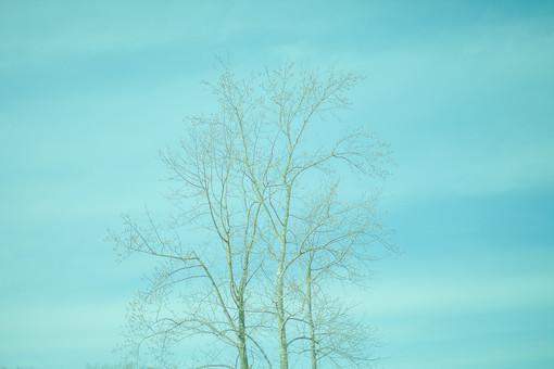自然 植物 木 樹木 葉 葉っぱ 重なる 交差する 幹 枝 枯れる 成長 育つ 伸びる そびえる 高い 広い 曲がる 空 雲 青空 晴天 晴れ 天気 グラデーション 加工 無人 室外 屋外 風景 景色