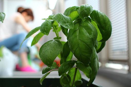 植物 園芸 ガーデニング プランター 緑 栽培 葉 葉っぱ 成長 伸びる 環境 癒し 趣味 ベランダ 人物 女性 主婦 水やり 水滴 水 茎 葉脈 アップ クローズアップ 接写