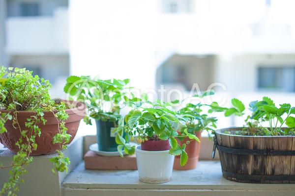 窓際の観葉植物2の写真