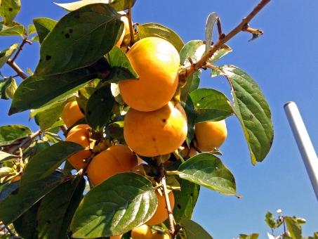 柿 柿の木 果実 果物 食べ物 食品 食材 グルメ 青空 秋の景色 秋の風景 秋空 晴天 快晴 群青 紺碧 葉 枝葉 樹木 木 緑 自然 食材 風景 景色 実り 秋 季節