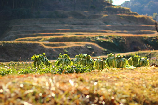 白菜 はくさい 冬 食べ物 農業 家庭菜園 畑 食材 葉物野菜 野菜 農作業 土 庭 植物 自然 風景 景色 植える 育てる 栽培 栄養 並ぶ 収穫 冬野菜 食事