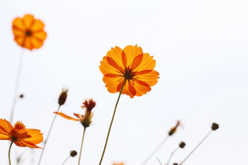 コスモス 秋 キバナコスモス コスモス畑 花畑 こすもす アップ 花 花びら 自然 美しい 空 晴れ 植物 可憐 可憐な 可愛い かわいい スペース コピースペース 余白 ガーデン ガーデニング 蕾 つぼみ 咲く 開花 背景 秋桜 風景 キク科 秋の花 イメージ 庭 公園 日本 オレンジ色 シンプル 白バック 白背景 屋外 無人 逆光