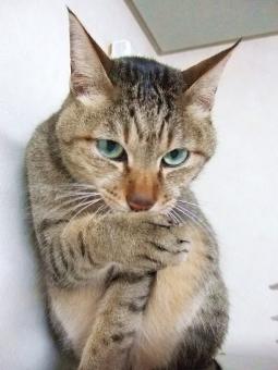 猫 ねこ ネコ カメラ目線 内緒話 ヒソヒソ話 猫の手 口を隠す 表情 顔 仕草 家猫 飼い猫 室内猫 ペット 動物 どうぶつ 生き物 ちゃこ 上目づかい かわいい