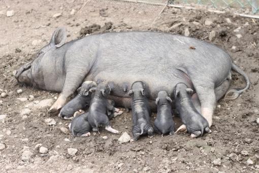 仔ブタ 子豚 赤ちゃん 親子 動物 母乳 授乳 牧場