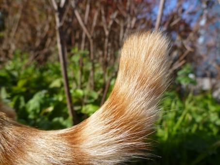 猫 ネコ ねこ 野良猫 しっぽ シッポ 尻尾 尾 テール tail 毛 毛並 毛先 アップ 茶トラ 日なた 散歩 木 花壇 草 公園 park cat 縞 模様 しま模様 動物 曲線 上向き