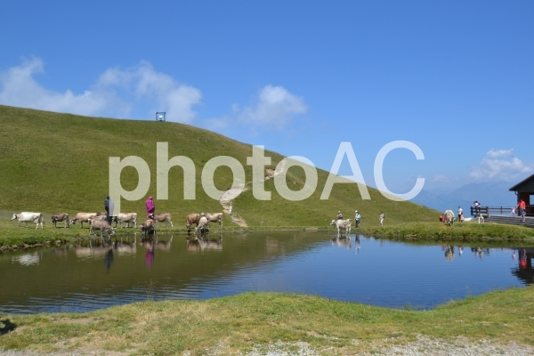 スイス ルガーノ 牛の写真