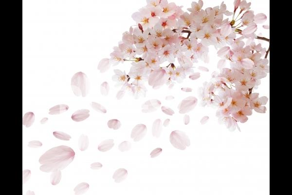 桜舞い散る白背景素材の写真