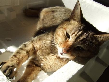 ネコ 猫 睡魔 寛ぐ くつろぐ リラックス 発泡スチロール 日なた 日差し 寝る 眠る 睡眠 顔 うとうと 寝そべる やる気なし だらける 怠ける なまける エコ ポカポカ陽気 しあわせ 幸せ 家猫 飼い猫 室内猫 ペット 動物 ちゃこ 表情