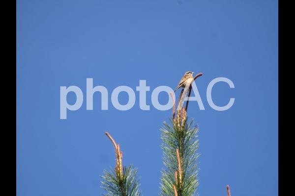 松の木の先端にとまるスズメの写真