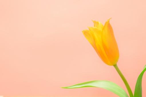 チューリップ ちゅーりっぷ オレンジ オレンジ色 春 春の花 球根植物 背景 ピンク アレンジ 春イメージ 壁紙 テクスチャ 文字スペース コピースペース かわいい 花 植物 シンプル 球根 一輪 1輪