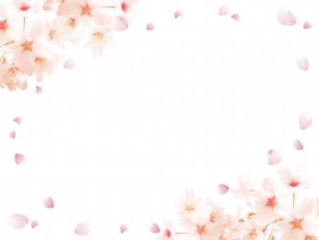桜 桜の花 フレーム 枠 飾り枠 囲み枠 囲み 飾り さくら サクラ 白背景 背景 バック ベース 下地 バックグラウンド 花びら 春 花 植物 自然 パーツ 加工 淡い ピンク 淡色 明るい かわいい キレイ 可憐