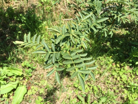 さんしょう サンショウ 山椒 さんしょうの木 山椒の木