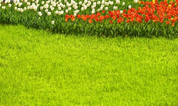 芝生 芝 チューリップ 植物 赤 白 テクスチャー テクスチャ 背景 背景素材 グリーン 緑 コピースペース 春 明るい 鮮やか きれい 花 花びら 庭園 公園 園芸 昭和記念公園