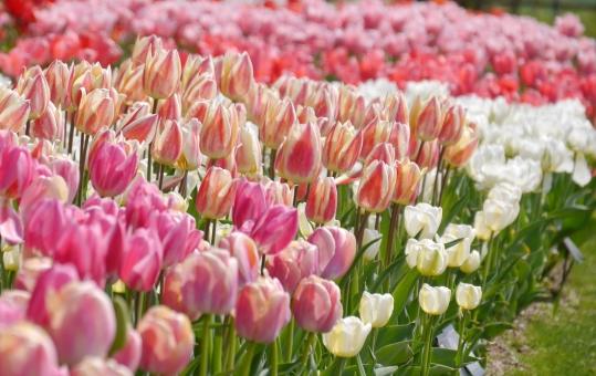 チューリップ ピンク 植物 白 さくら色 観光 農業 イメージ ガーデニング 新入生 入学式 一年生 行楽 gw ゴールデンウィーク 旅行 連休 デート 緑 壁紙 公園 かわいい 可愛い 美しい きれい 美容 4月 ポピー 春 お花畑 お花 花 自然 バック 華やか 花畑 景色 風景 背景 背景素材 素材 背景写真 4月 初夏 鮮やか 色鮮やか 彩り 屋外 綺麗 一面 明るい カラフル 桃色 桜色 庭 ガーデン 栽培