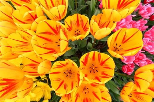 自然 風景 スナップ 旅行 植物 花 あざやか 原色 人気 チューリップ オランダ ポピュラー 花びら 花弁 茎 栽培 ガーデニング 庭園 植物園 温室 見頃 満開 旬 季節 黄色 赤 俯瞰