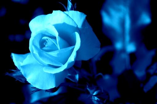 青い薔薇に関する写真写真素材なら写真ac無料フリー