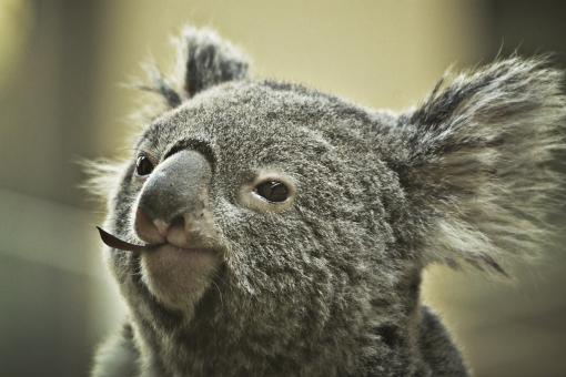 コアラ こあら 子守熊 動物 生き物 かわいい 灰色 陸上動物 オーストラリア 草食動物 有袋類 ユーカリ 木登り 恒温動物 動物園 野生 毛 フワフワ 単独性 樹上生活 薄明薄暮性 袋 癒し 顔 アップ