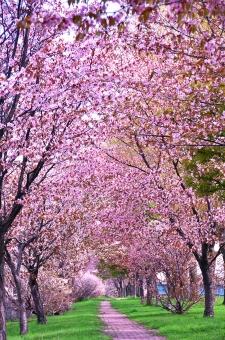 桜 さくら サクラ SAKURA 満開の桜 桜のトンネル 花のトンネル 桜とんねる ピンクのとんねる 花 ピンクの花 4月 自然 美しい 観光 1本道 誰もいない桜のトンネル