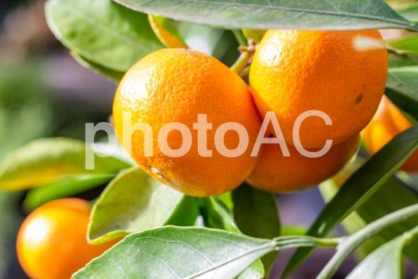 温室のウンシュウミカンの写真