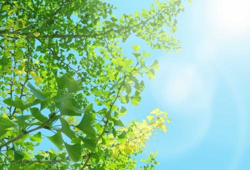 森 林 アロマ 葉 葉っぱ 背景 バックグラウンド 背景写真 木漏れ日 キラキラ 庭 清涼感 木の葉 はっぱ 小枝 植物 グリーン エコ エコロジー 環境 eco 森林 森林浴 いやし リラックス リラクゼーション やすらぎ 安らぎ テクスチャ 青葉 若葉 緑 青 夏 明るい イメージ 5月 背景素材 樹木 木 爽快 ミドリ 屋外 黄緑 マイナスイオン 6月 7月 8月 やさしい 優しい 癒し 新緑 りラックス バック 背景画像 清潔 清涼 みどり 爽やか 柔らかい 自然 ナチュラル 真夏 初夏 春 太陽 日光 日中 天気 光 快晴 景色 風景 ライト きらきら 空 青空 イチョウ