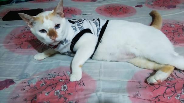 キャットウェアを着た猫の写真