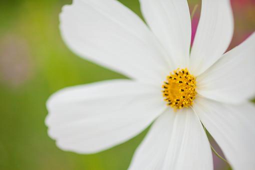 秋の風景 コスモス アキザクラ 秋桜 花畑 花園 白 アップ 接写 一輪 植物 花 草花 散歩 散策 自然 風景 景色 真心 のどか 鮮やか 美しい 綺麗 明るい ボケ味 ピントぼけ