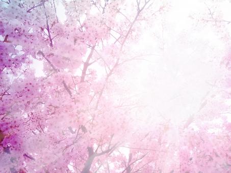 桜 さくら サクラ 桜の花 桜の木 花びら 花 春 入学 卒業 入学式 卒業式 卒園 入園 自然 日光 光 木漏れ日 春素材 テクスチャー 合成 晴天 スプリング 卒業背景 入学背景 新社会人 桜吹雪 お花見 花見 植物