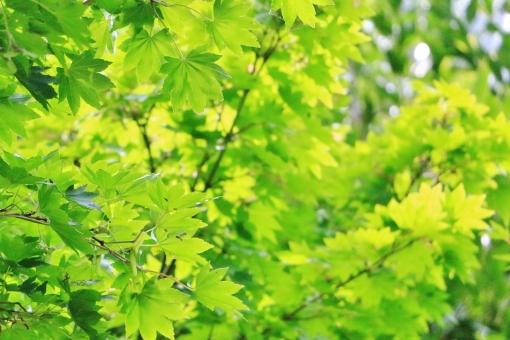 初夏 グリーン もみじ モミジ 葉っぱ 葉 緑 緑色 光 陽射し 日差し 重なり 枝垂れ 垂れる 枝 植物 自然 明るい 風景 背景 景色 壁紙 テクスチャ 綺麗 きれい キレイ 癒し 憩い 連なり たくさん 心地いい 心地良い 若い 若々しい 若葉 青い 青葉 穏やか 優しい 優しさ 揺れる 涼しさ 涼 グラデーション
