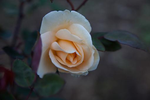 植物 花 バラ 薔薇 ローズ 棘 6月 夏の季語 抱え咲き シャーベットオレンジ 薄オレンジ アロマセラピー 鑑賞 園芸 ガーデニング 栽培 庭園 バラ園 自然 アップ 一輪 綺麗 愛 美 上品 愛嬌 新鮮 斬新 無邪気 さわやか