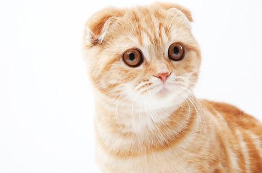 ポーズ 動物 生物 生き物 哺乳類 ほ乳類 猫 ねこ ネコ キャット 子猫 仔猫 仔ネコ 子ネコ 子ねこ 赤ちゃん スコティッシュフォールド かわいい 可愛い バストショット バストアップ 見る 茶トラ 白背景 白バック グレーバック 余白 空白 空間 スペース