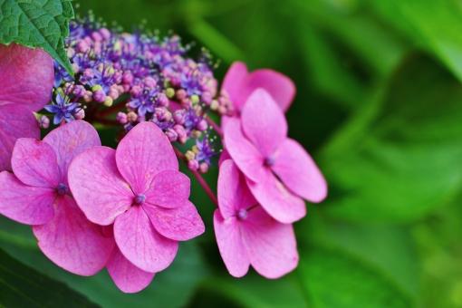 紫陽花 額紫陽花 花 植物 紫色 パープル 薄紫 青紫 ピンク ピンク色 グリーン 梅雨 花びら 蕾 葉っぱ 風景 背景 壁紙