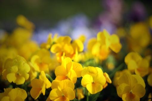 パンジー ビオラ 黄色 黄色い花 春 花 植物 花びら 満開 自然 スミレ科 屋外 葉 花畑 黃 スポットライト