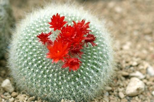 植物 花 サボテン 多肉植物 とげ トゲ 棘 砂漠 水 水やり