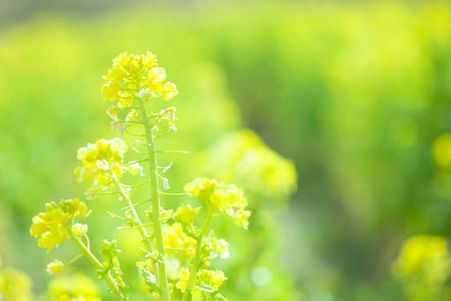 自然 植物 茎 花 花びら 黄色 沢山 集まる 密集 多い 小花 成長 育つ 伸びる しぼむ 咲く 開く 開花 菜の花 枯れる ピンボケ ぼやける アップ 加工 無人 室外 屋外 風景 景色 幻想的 春 黄色