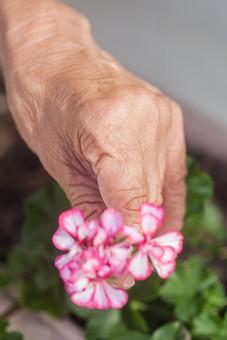 人物 老人 お年寄り 高齢者 シルバー 年老いた手 ハンドパーツ 手 指 ハンド パーツ 手の表情 年老いた手 皺 しわ シワ クローズアップ 花 植物 摘む 一輪 1本 リハビリ 訓練 医療 福祉 手元 手先 指先